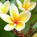 White And Yellow Plumeria Flowers by Charmian Vistaunet