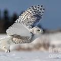 White Angel - Snowy Owl In Flight by Mircea Costina Photography