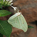 White Angled Sulphur #2 by Judy Whitton