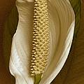 White Anthurium Flower by Ben and Raisa Gertsberg