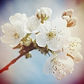 White Apple Blossom In Spring by Matthias Hauser