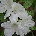 White Azalea 14-1 by Maria Urso