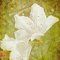 White Azalea by Judy Hall-Folde