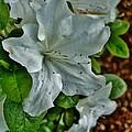 White Azalea by VLee Watson