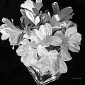 White Azaleas On Black by Connie Fox