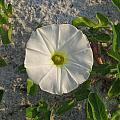 White Beach Flower by Ellen Meakin