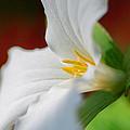White Beauty by Garvin Hunter