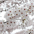 White Beauty by Gunay Turgut