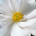 White Begonia Floral by Jennie Marie Schell