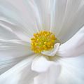 White Begonia Flower Macro by Jennie Marie Schell
