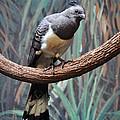 White-bellied Go-away-bird by Savannah Gibbs