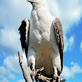 White-bellied Sea Eagle by Bildagentur-online/mcphoto-schulz
