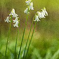 White Bells by Mary Jo Allen