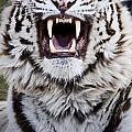White Bengal Tiger At Forestry Farm by Chad Coombs