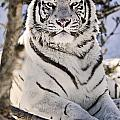 White Bengal Tiger, Forestry Farm by Chad Coombs