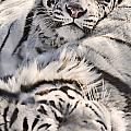 White Bengal Tigers, Forestry Farm by Chad Coombs
