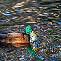 White-bibbed Mallard by Kate Brown