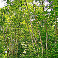 White Birch Along Rivier Du Nord Trail In The Laurentians-qc by Ruth Hager