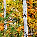 White Birch Autumn by Craig Sterken