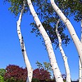 White Birch Blue Sky by Ed Weidman