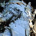 White Birch Log by Scott Hill
