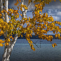 White Birch Tree In Autumn Along The Shore Of Crystal Lake by Randall Nyhof