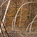 White Birch Trees In The Brown And Orange Forest by Matthias Hauser