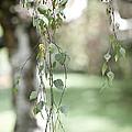 White Birch by Viola Jasko