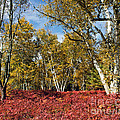 White Birches Of Fall by Tom Gari Gallery-Three-Photography
