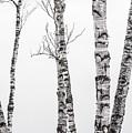 White Birches by Tim Kirchoff