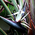 White Bird Of Paradise by Donna Walsh
