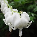 White Bleeding Heart by Tima Timy