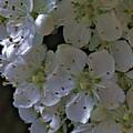White Blooms by John Feiser
