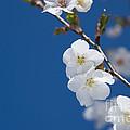 White Blossom by Anne Gilbert