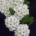 White Blossoms by Brian Wallace