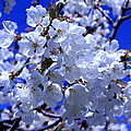 White Blossoms by Scott Hill
