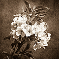 White Blossoms - Sepia by Alexander Senin