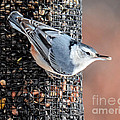 White Breasted Nuthatch by Amy Porter