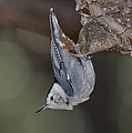 White-breasted Nuthatch by Anthony Mercieca