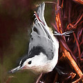 White-breasted Nuthatch - Classic Pose by Kerri Farley