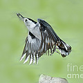 White-breasted Nuthatch Flying With Food by Anthony Mercieca