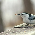 White-breasted Nuthatch by Helen  Bobis