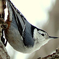 White-breasted Nuthatch by Marcus Moller