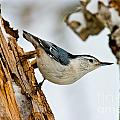 White-breasted Nuthatch Pictures 97 by World Wildlife Photography