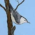 White Breasted Nuthatch by Rick Bainbridge