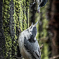 White Breasted Nuthatchs by Ronald Grogan