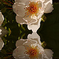 White Briar Rose Reflection by Christiane Schulze Art And Photography
