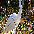 White Brilliance Of The Egret by Crystal Heitzman Renskers