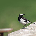 White Browed Wagtail  by Milind Waichal