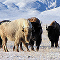 White Buffalo by Carol Milisen
